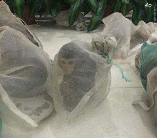 عکس/ قاچاق میمون برای قصابیها